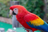 Scarlet Macaw 02