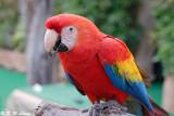 Scarlet Macaw  01