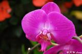 Orchid DSC_3155