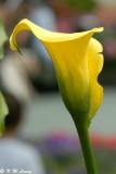 Zantedeschia elliotiana