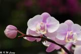 Orchid DSC_3416
