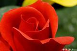Rose 48