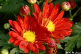 Chrysanthemum (DSC_3183)