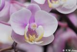 Orchid DSC_3272