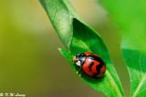 Lady Beetle 05