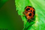 Lady Beetle 07