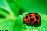 Lady Beetle 06