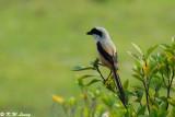 Long-tailed Shrike 05