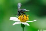 Honeybee DSC_0473