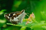 Udaspes folus (薑弄蝶)