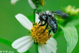 Honeybee DSC_0472