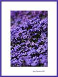 Violet flower bank, Bernay