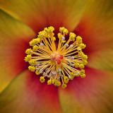 Hibiscus Stamen DSCF01770-1