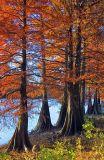 Shell Lake Cypresses 20061104
