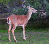 Austin Deer 20061109