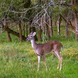 Austin Deer 43843