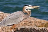 Squawking Heron 44891