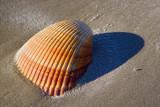 Seashell 45702