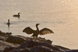Cormorant Drying Its Wings 46747