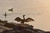 Cormorants of Texas