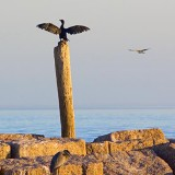 Cormorant Drying Its Wings 46740