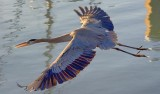 Heron In Flight 46757