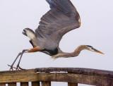 Heron Taking Off 46226