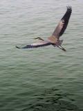 Heron In Flight 46245