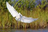 Egret In Flight 20061220
