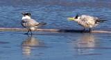 Terning The Other Beak 48162