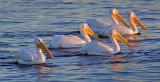 White Pelicans 48211