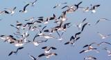 Cloud of Gulls 49322