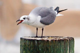 Loud-Mouthed Gull 49349