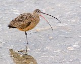 Long-Billed Curlew 50264