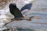 Heron In Flight 50459
