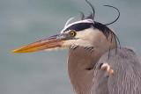 Heron Closeup 50673