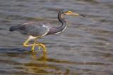 Tri-color Heron 50576