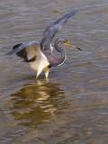Tri-color Heron 50555