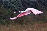 Roseate Spoonbill In Flight 50864