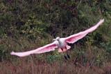 Roseate Spoonbill In Flight 50859