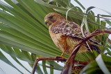 Hawk In A Palm 51106
