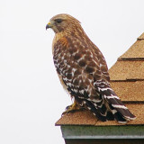 Hawk On A Roof 51128