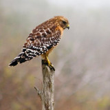Hawk On A Post 20070120
