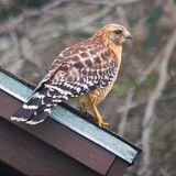 Hawk On A Roof 51116