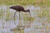 White-faced Ibis 51291