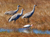 Sandhill Cranes & White Ibis 51725