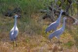 Sandhill Cranes 52377