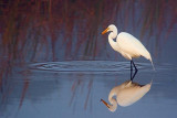 Egret In A Pond 52954