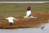 Whooping Cranes In Flight 53175