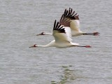 Whooping Cranes In Flight 53178